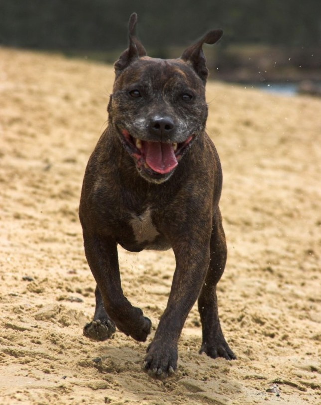 Staffordshire bull terrier, sex with dog