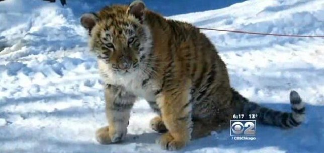 Man charged with disorderly conduct after taking tiger into bar