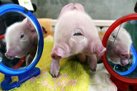 Two-headed pig (version 2)