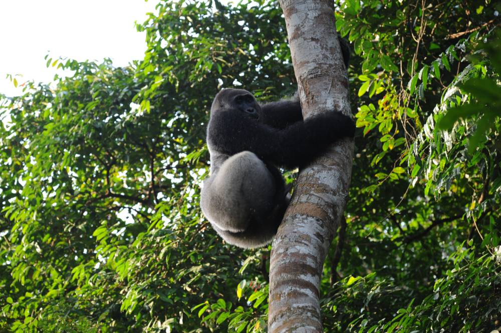 Travel news: Gorilla safari in Republic of Congo and husky taxi service in Norway