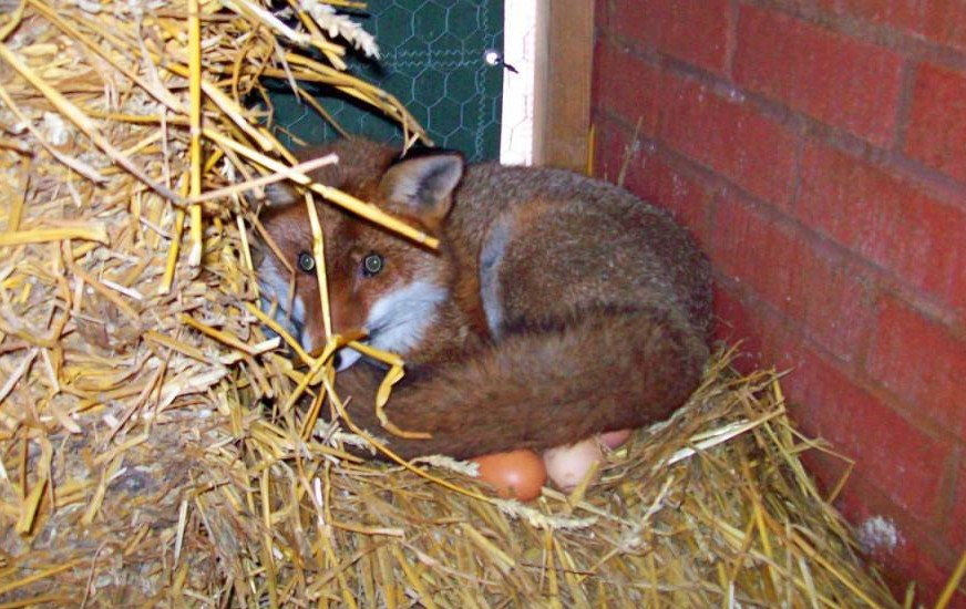 Safe with me: The fox curls up on eggs to keep them warm (Picture: Solent News)
