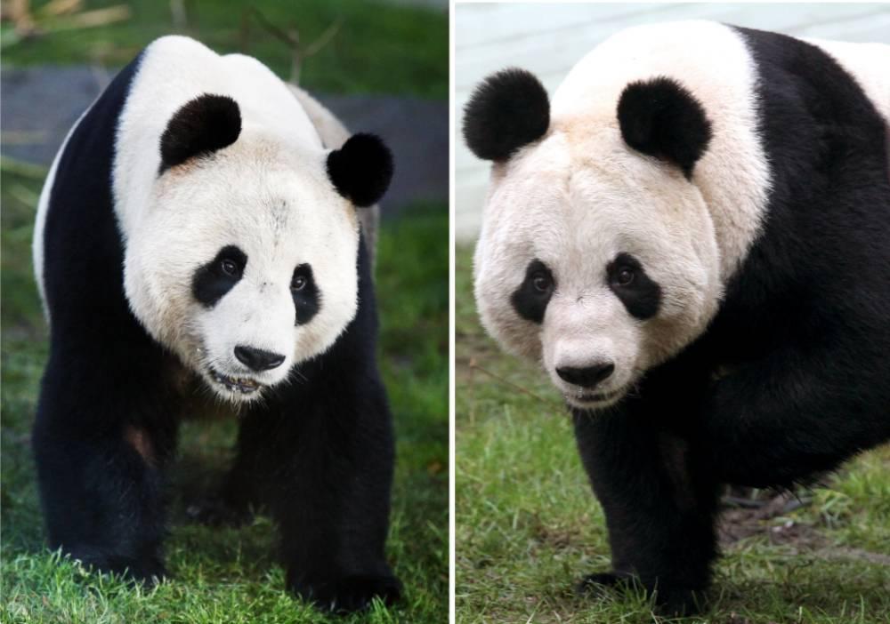 Will we hear patter of tiny panda feet? Hope for Edinburgh Zoo pandas as mating season approaches