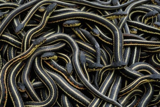 Red-sided garter snakes (Thamnophis sirtalis parietalis) at hibernaculum, Inwood, Manitoba, Canada. BFETKP