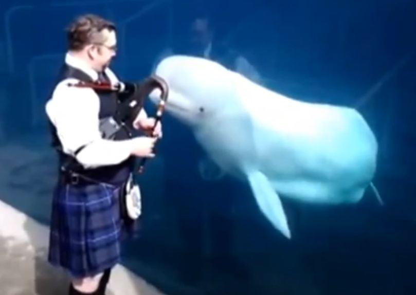 Beluga whale dancing to bagpipes