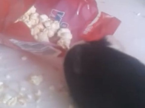 This guinea pig really loves popcorn