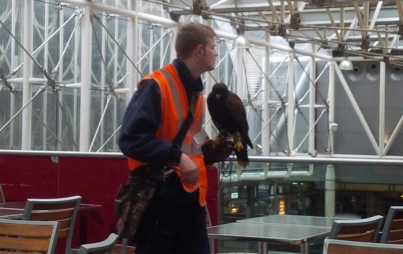 Hawk scares off pigeons (and some passengers) at Paddington London Underground station