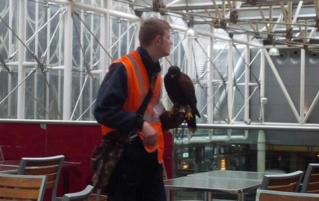 Hawk scares off pigeons (and some passengers) at Paddington London Underground station