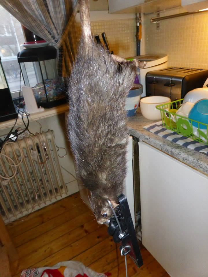 A Swedish family have told her they were chased out of their kitchen by huge rat which was twice the normal size and was so aggressive it had even tried to eat their pet cat
