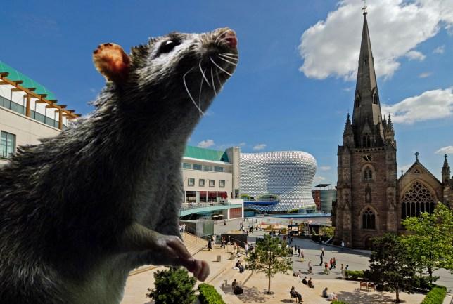 Birmingham, rat