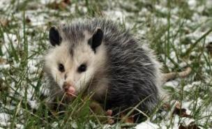 A remarkable possum has managed to survive being shot five times.