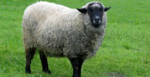 Student in sheep costume was set on fire