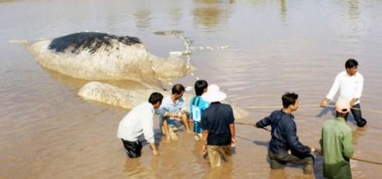 Dead Whale Vietnam
