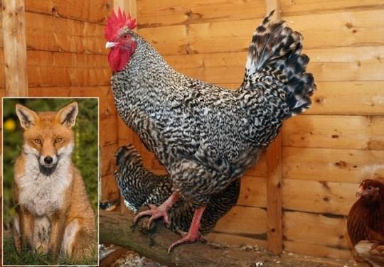 Dude the chicken