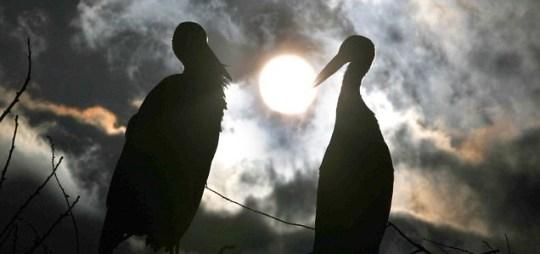 Rodan and Malena, Storks reunited in Slavonski Brod, Croatia