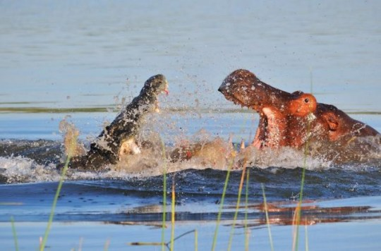 Crocodile attacks hippo