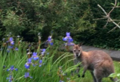 Er There S A Wallaby In My Garden Metro News