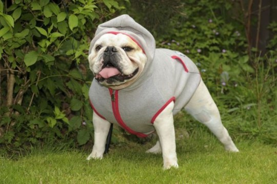 Top dog: Menace strikes a pose in his hoodie Pictures: Andy Kelvin