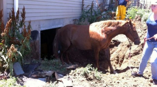 Too much horseplay?: Summer the horse became stuck down a basement after falling through a window