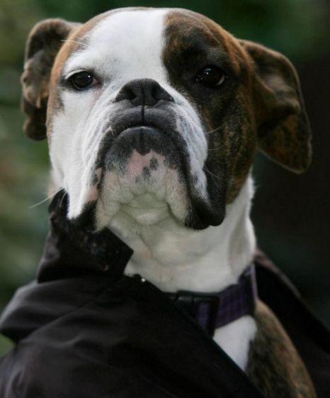 Bruno the boxer dog