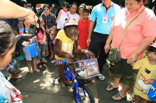 Bam the orangutan rides bicycle cycling safety