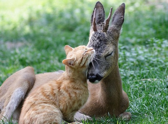 Cat and baby deer become friends