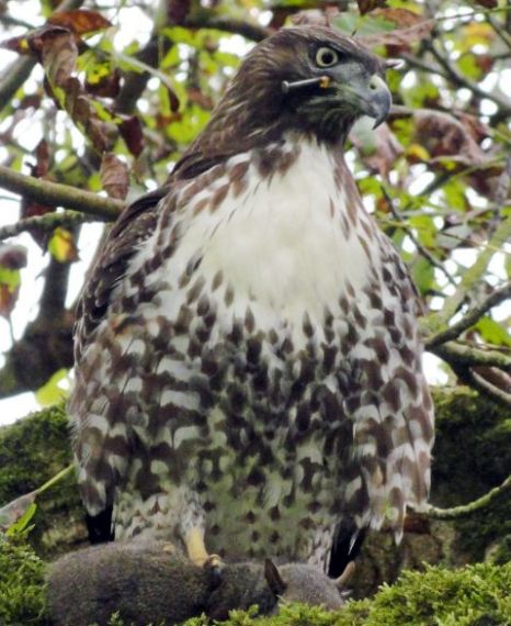 Hawk with nail in head still alive and free