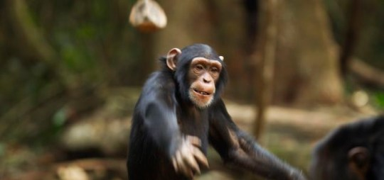 Chimp throws tantrum in Guinea