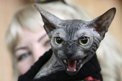 Donskoy, cat