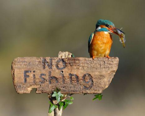 Kingfisher, River Stour