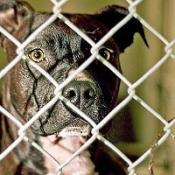 Dog fighting is on the increase, according to figures from the RSPCA