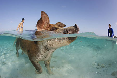 Snorkler: Or should that be a porkler, taking a cooling dip in the clear Bahamian waters as a surfer looks on