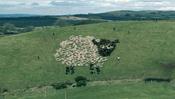 Extreme Sheep