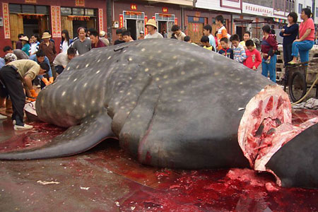 Whale shark being cut up in China