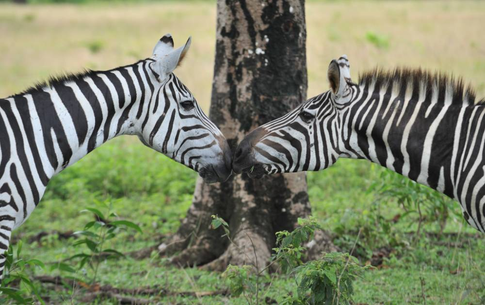 Why zebras have their stripes: The mystery has finally been solved