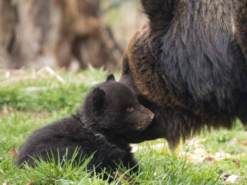 Bear cubs orphaned after their mother is killed for mauling hiker to death