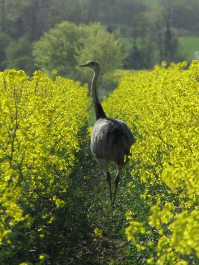 Beautiful... but deadly: The rhea can 'go straight for the eyes' with its beak (Picture: Mercury Press)