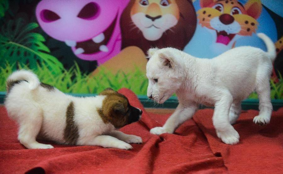 Mother dog offers puppy love to abandoned white lion cub