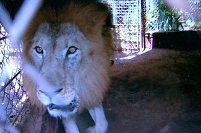 Rawell Stolen Lion Brazil