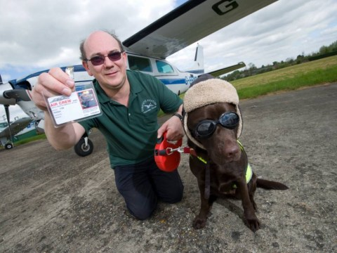 Don't get into a dog fight! Callie the chocolate labarador gets 'pilot' licence