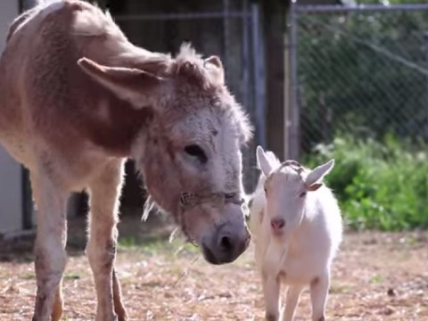 Depressed goat reunited with donkey best friend after six-day hunger strike, world is good again