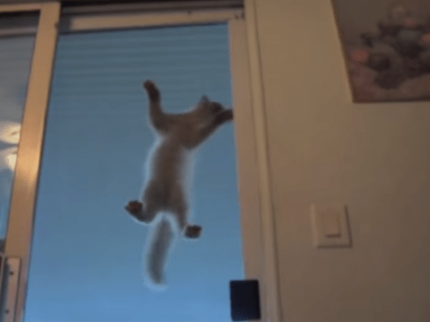 Meet spider-cat: Feline shows off spider skills climbing up glass door