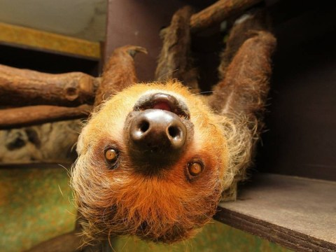 24 pictures of smiling sloths that will make your Monday infinitely better