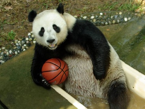 Pandas are benefits cheats who fake pregnancy for better lifestyle, says expert