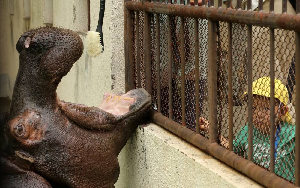Here's a hippo having its teeth brushed. Enjoy!
