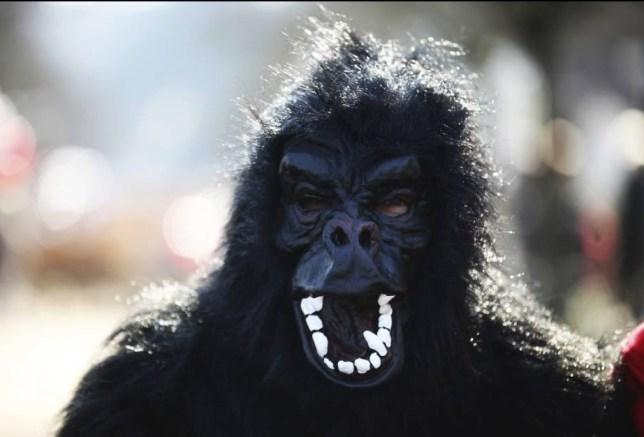 Loro Parque Zoo Tenerife: Man in gorilla suit shot with tranquiliser