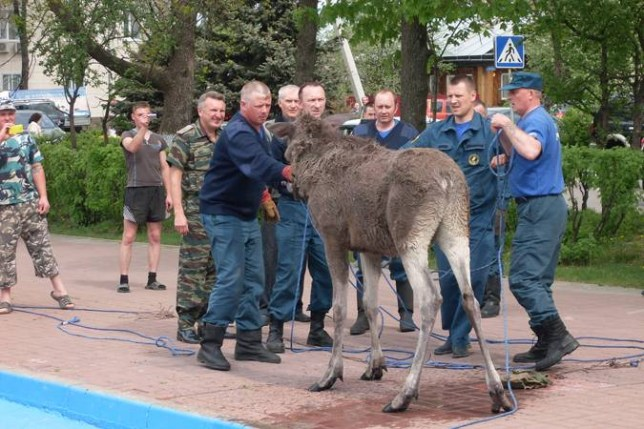 Drunk moose Monty rescued from pond in Semenov, Russia