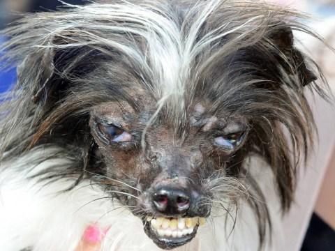 Top 10: Strangely beautifulWorld's Ugliest Dog contest photos