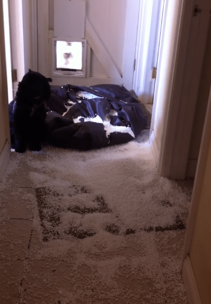 Oh Jasper – you are such a naughty cocker spaniel