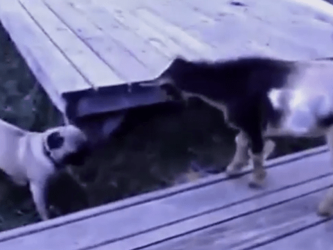 Ever seen a goat fighting a pug? Neither had we