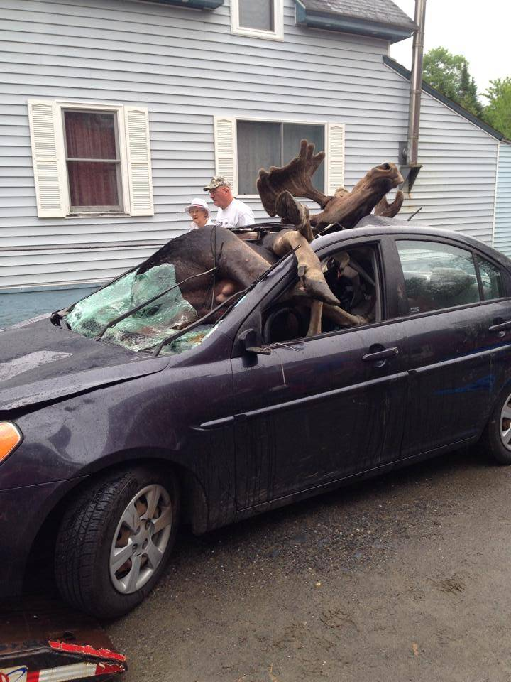 Incredible pictures show what happens when a car collides with a moose